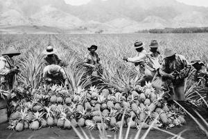 Agricultural Workers Harvesting Pineapples on a Plantation in Hawaii, Ca. 1920