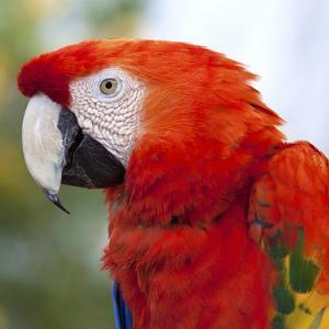 Scarlet Macaw by aires photography