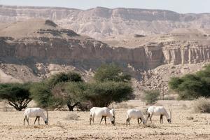 Arabian Oryx by Ake Lindau