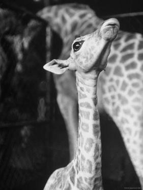 Baby Giraffe Taking a Look Around by Al Fenn