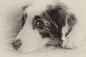 Close-Up Black and White Portrait of an Australian Shepherd's Face by Al Petteway