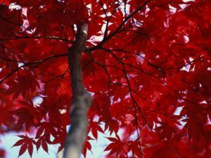 Close View of Red Maple Leaves by Al Petteway