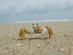 Eye to Eye View of a Ghost Crab on the Beach by Al Petteway