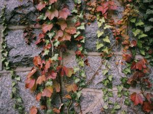 Ivy on a Stone Wall by Al Petteway