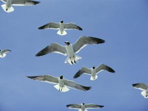 Laughing Gulls Hover against a Blue Sky by Al Petteway