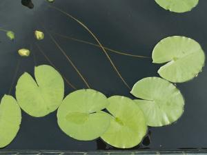 Lilies in a Pond by Al Petteway