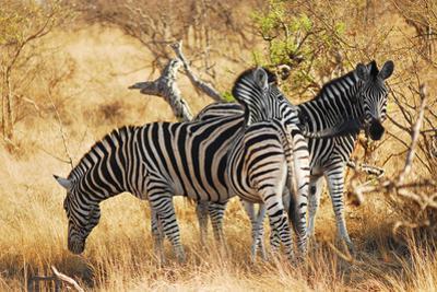 Zebras in South Africa by Al Riutort