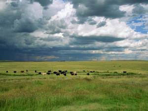 Cattle Ranching, N3 Highway, South Africa, Africa by Alain Evrard