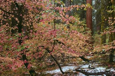 Dogwoods & Sequoia by Alain Thomas