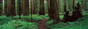 Redwoods Path by Alain Thomas