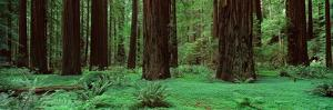 Redwoods, Rolph Grove by Alain Thomas