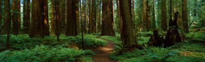 Sequoias by Alain Thomas