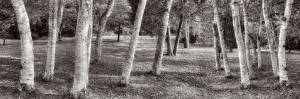 Birch Trees No.1 by Alan Blaustein