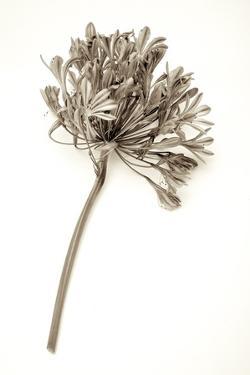 Garden Bloom #9 by Alan Blaustein