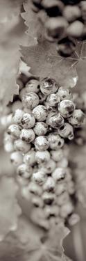 Grapes Pano #16 by Alan Blaustein