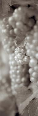 Grapes Pano #4 by Alan Blaustein