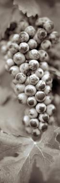 Grapes Pano #6 by Alan Blaustein