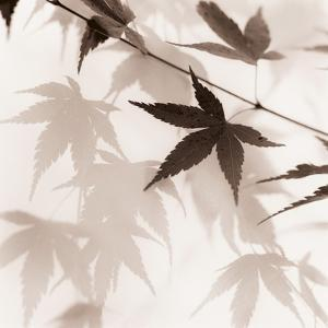 Japanese Maple Leaves No. 2 by Alan Blaustein