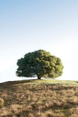 Oak Tree #77 by Alan Blaustein