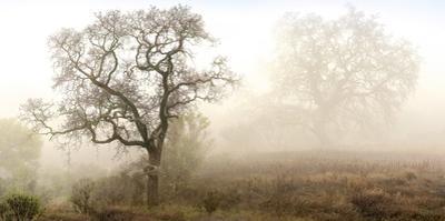 Sonoma Oak #1 by Alan Blaustein