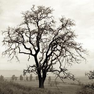 Sonoma Oak I by Alan Blaustein