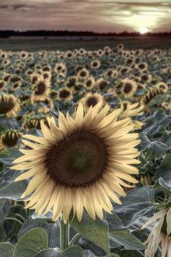 France, Centre Region, Indre-Et-Loire, Sainte Maure De Touraine, Sunflowers in Sunflower Field by Alan Copson