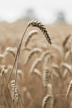 Wavering Wheat by Alan Copson