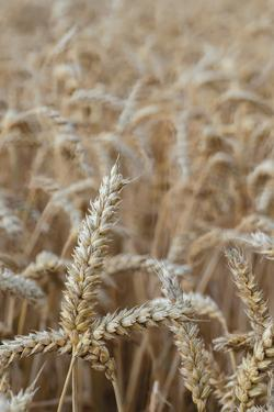 Wholesome Wheat by Alan Copson