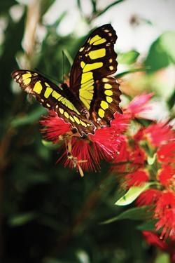 Baird's Swallowtail II by Alan Hausenflock