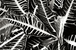 Croton I by Alan Hausenflock