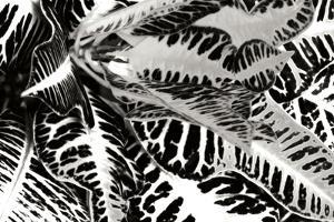 Croton II by Alan Hausenflock