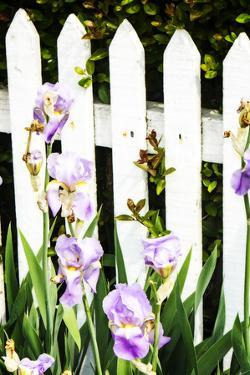 Iris on a Fence by Alan Hausenflock