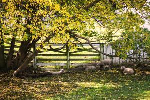 Lambs II by Alan Hausenflock