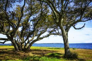 Live Oaks by the Bay I by Alan Hausenflock