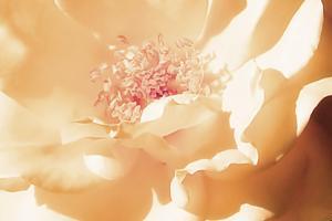 Melon Rose II by Alan Hausenflock