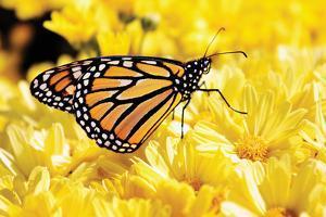 Monarch on Chrysanthemums by Alan Hausenflock