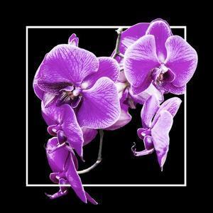 Orchids on Black V by Alan Hausenflock