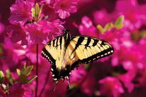 Swallowtail on Azalea by Alan Hausenflock