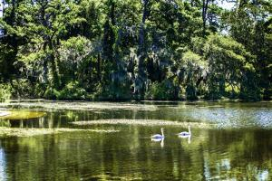 Swans I by Alan Hausenflock
