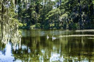 Swans II by Alan Hausenflock