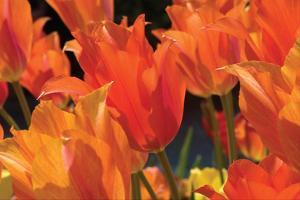 Tulip Field I by Alan Hausenflock