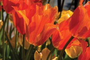 Tulip Field II by Alan Hausenflock