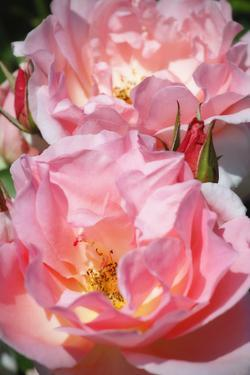 Wild Roses I by Alan Hausenflock