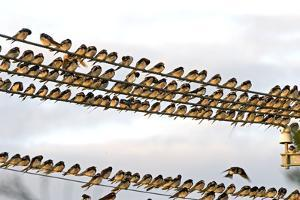 Barn Swallows Massing on Electricity Cables Prior by Alan J. S. Weaving