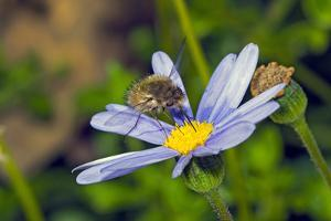 Bee Fly Feeding on Nectar from Daisy Flower by Alan J. S. Weaving