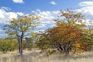 Colours of Mopane Veld, Due Mostly to the Mopane Tree by Alan J. S. Weaving