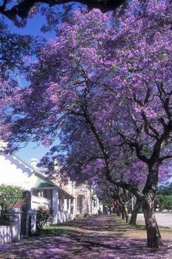Jacaranda Tree in Blossom by Alan J. S. Weaving