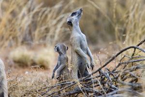 Meerkat Sentry Keeping Watch for Predators by Alan J. S. Weaving