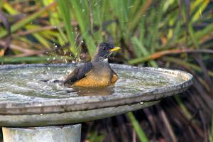 Olive Thrush Bathing in Birdbath by Alan J. S. Weaving