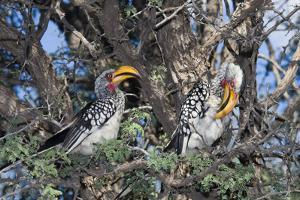 Southern Yellow-Billed Hornbill Pair in Camelthorn by Alan J. S. Weaving